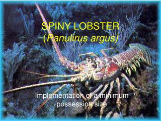 SPINY LOBSTER ( Panulirus argus)