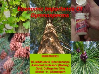 Economic Importance Of Gymnosperms