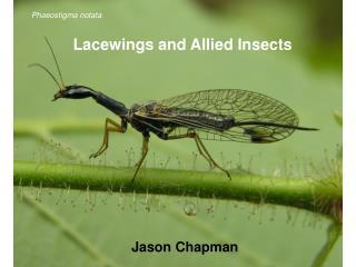 Lacewings and Allied Insects