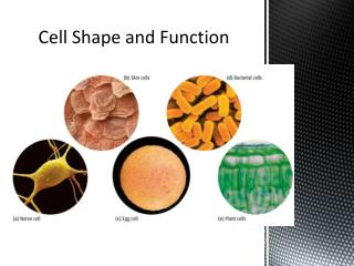 Cell Shape and Function