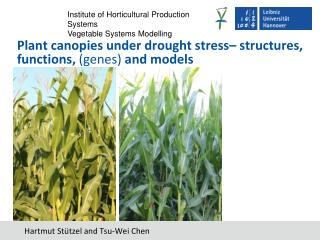 Plant canopies under drought stress– structures, functions,  (genes)  and models