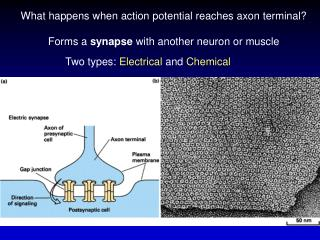 What happens when action potential reaches axon terminal?
