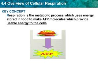 Two forms of Respiration 1.  Aerobic  Respiration- Requires Oxygen gas