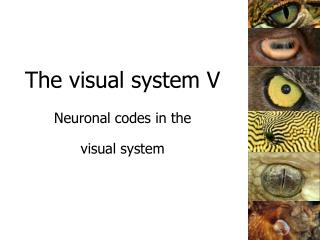 The visual system V Neuronal codes in the  visual system