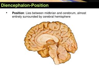 Diencephalon- Position