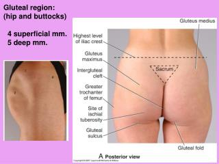 Gluteal region: (hip and buttocks)   4 superficial mm.   5 deep mm.
