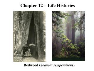 Redwood ( Sequoia sempervirens )