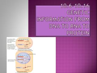 10.6-10.16 Genetic Information from DNA to RNA to Protein