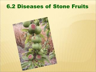 6.2 Diseases of Stone Fruits