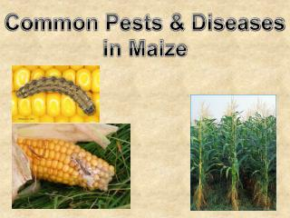 Common Pests & Diseases in Maize