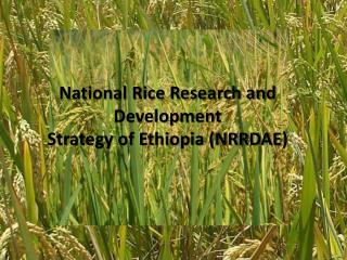 National Rice Research and Development  Strategy of Ethiopia (NRRDAE )