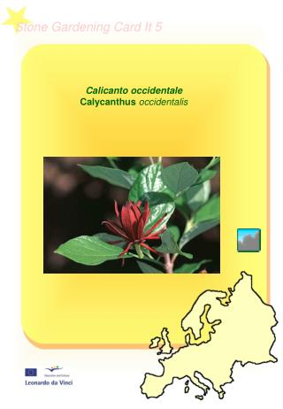 Calicanto occidentale  Calycanthus  occidentalis