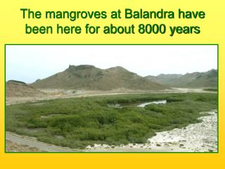 The mangroves at Balandra have been here for about 8000 years