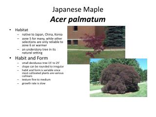 Japanese Maple Acer palmatum