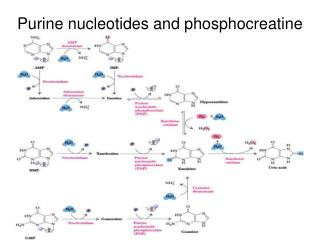 Purine nucleotides and phosphocreatine