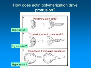How does actin polymerization drive protrusion?