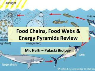 Food Chains, Food Webs & Energy Pyramids Review