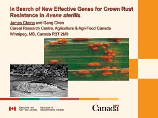 In Search of New Effective Genes for Crown Rust Resistance in  Avena sterilis