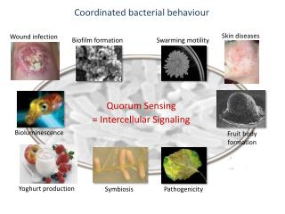 Coordinated bacterial behaviour