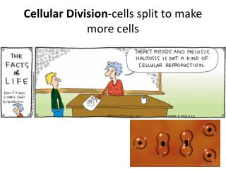 Cellular Division -cells split to make more cells