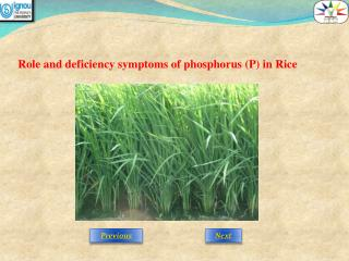 Role and deficiency symptoms of phosphorus (P) in Rice