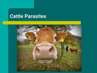 Cattle Parasites