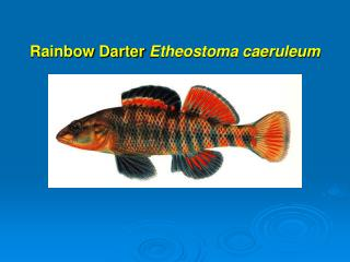 Rainbow Darter Etheostoma caeruleum