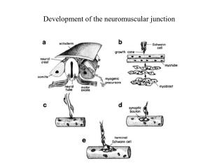 Development of the neuromuscular junction