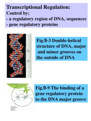 Transcriptional Regulation: Control by; - a regulatory region of DNA, sequences