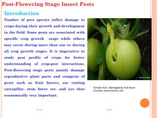 Post-Flowering Stage Insect Pests