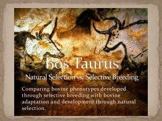 Bos Taurus Natural Selection vs. Selective Breeding