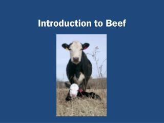 Introduction to Beef