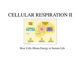 CELLULAR RESPIRATION II