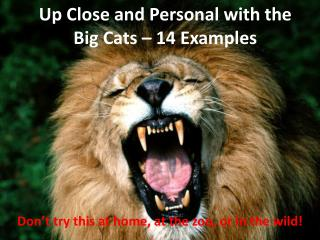 Up Close and Personal with the Big Cats –  14 Examples