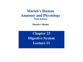 Chapter 23 Digestive System Lecture 11