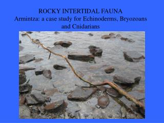 ROCKY INTERTIDAL FAUNA Armintza: a case study for Echinoderms, Bryozoans and Cnidarians
