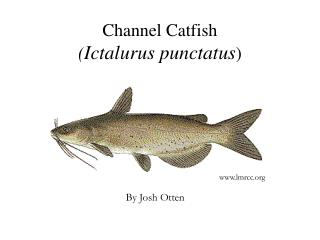 Channel Catfish ( Ictalurus punctatus )