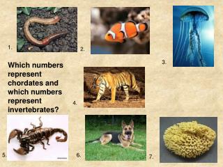 Which numbers represent chordates and which numbers represent invertebrates?
