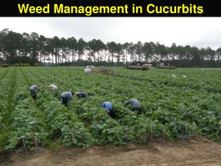 Weed Management in Cucurbits