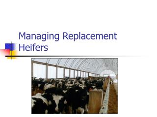 Managing Replacement Heifers