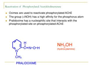 Reactivation of  Phosphorylated Acetylcholinesterase