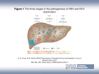 Figure 1 The three stages in the pathogenesis of HBV and HCV reactivation