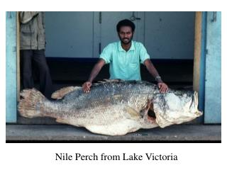 Nile Perch from Lake Victoria