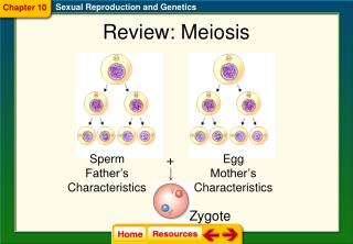 Review: Meiosis