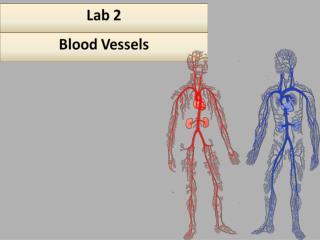 Artery and Vein