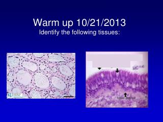 Warm up 10/21/2013 Identify the following tissues:
