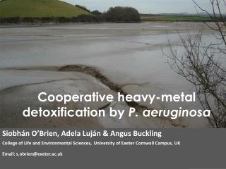 Cooperative heavy-metal detoxification by  P.  aeruginosa