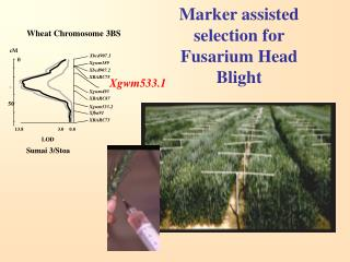Marker assisted selection for Fusarium Head Blight