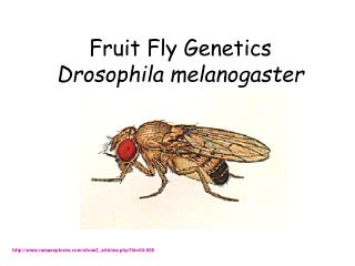 Fruit Fly Genetics Drosophila melanogaster
