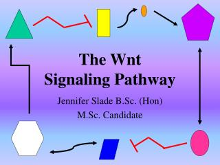 The Wnt  Signaling Pathway